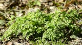 německo : Chervil in a german forest in spring, spice for soups