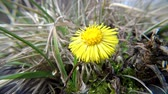 remedy : Coltsfoot, medicinal herb, flower in spring in Germany