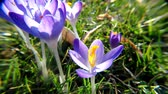 szafran : Crocus, flower of spring in Germany