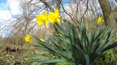 narcissus : daffodil flowers in spring in Germany