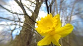 narcis : daffodil flowers in spring in Germany
