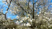 gomos : wild cherry blossom in spring in Germany Stock Footage