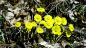 Coltsfoot, medicinal herb, flower in spring in Germany