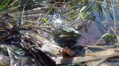 comestíveis : Common European frog in a pond in Poland