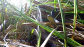 hayvanat : European grass snake, animal in a pond in Poland