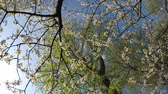 gomos : Cherry blossom in spring with camera drive Stock Footage