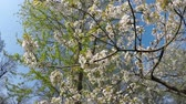 cherry blossom branch : Cherry blossom in spring with camera drive Stock Footage