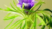 гомеопатический : European pasque flower, medicinal plant with flower