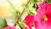 pink flower : Hollyhock, macro of the flower Stock Footage