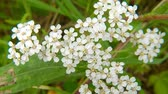 Yarrow, medicinal herb with flower 動画素材