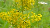 dortík : Ladys bedstraw, spice and medicinal plant with flower