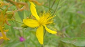 St. Johns Wort, medicinal plant with flower