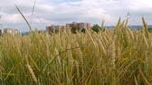 agriculture industry : Field of ripe wheat in Germany