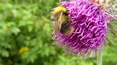 The early bumblebee on thistle