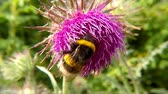 Northern white-tailed bumblebee on thistle flower in summer in Germany