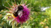 Bumblebee on thistle flower in summer in Germany