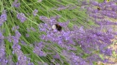 smród : Lavender, medicinal plant and spice with flower Wideo