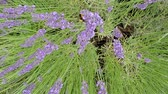 geur : Lavender, medicinal plant and spice with flower Stockvideo