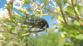 насекомые : The green rose chafer on a valerian flower