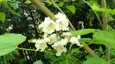 Southern catalpa, tree with flowers