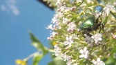 The green rose chafer on a valerian flower