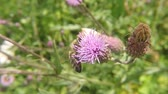 zvěř a rostlinstvo : Bee on flower of thistle in summer in germany Dostupné videozáznamy