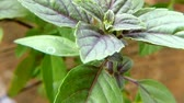 African blue basil, spice and medicinal herb with leaves