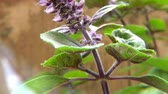 базилик : African blue basil, spice and medicinal herb with flower