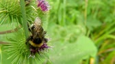 ネクター : White-tailed bumblebee on thistle 動画素材