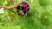 White-tailed bumblebee on thistle 動画素材