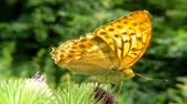 промывали : Silver-washed fritillary butterfly on a thistle flower Стоковые видеозаписи