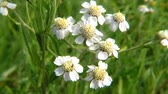 Sneezewort, medicinal herb with flower