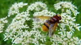 ネクター : The hornet mimic hoverfly on white flower 動画素材