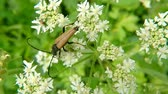 The Red-brown Longhorn Beetle on a white flower in summer in Germany