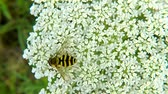 teremtmény : Hoverfly, Syrphus ribesii, on white flower in summer in Germany