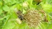 pszczoły : Honey bee on a flower of a thistle in summer in Germany