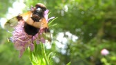 ネクター : Pellucid fly on a scabious field in summer in Germany