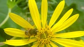 ネクター : Drone fly, hoverfly on yellow flower