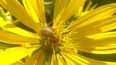 zvěř a rostlinstvo : Honey bee on yellow flower of compass plant