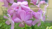 officinalis : Common soapwort, medicinal herb with flower Stock Footage