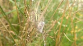 aranha : Wasp spider in his web with wrapped victim Stock Footage