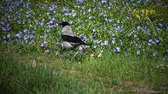 cornix : The hooded crow (Corvus cornix)