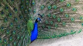 phasianidae : The Indian peafowl or blue peafowl, Peacock (Pavo cristatus), a large and brightly colored bird