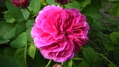 Rosa odorata is a member of the genus Rosa native to Yunnan in Southwest China, that of taxonomy has been confused