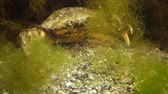 maenas : Big Green crab (Carcinus maenas) runs fast over the sand. Invasive species Stock Footage