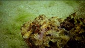 wildlife : Bright red Black scorpionfish (Scorpaena porcus)