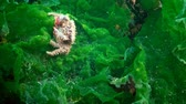 deniz yaşamı : A crab is laying eggs in the water. Pilumnus hirtellus, the bristly crab or hairy crab, is a species of European crab Stok Video