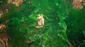 rocks nger : A crab is laying eggs in the water. Pilumnus hirtellus, the bristly crab or hairy crab, is a species of European crab Stock Footage