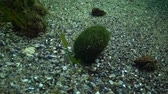 ecological : Balls from the green alga Cladophora swing in the water on the seabed. Flora of the Black Sea.
