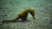 rocks nger : Short-snouted seahorse (Hippocampus hippocampus). Black Sea. Ukraine. Odessa bay.